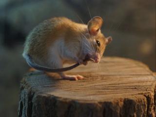 обои От хвоста и до ушей должно быть чисто у мышей фото