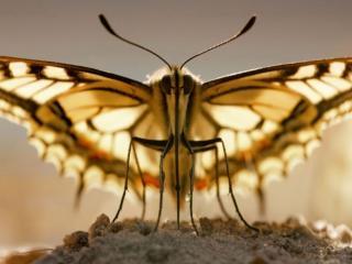 обои Портрет бабочки фото