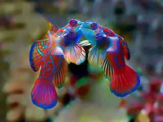 обои Рыбный поцелуй фото