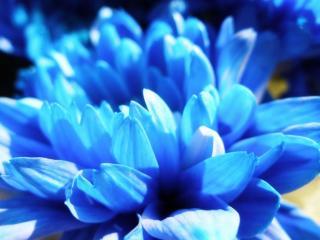 обои Синие лепестки хризантемы фото