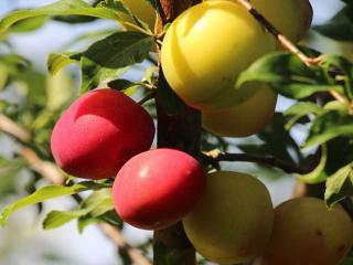 обои Солнечные фрукты фото