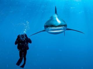 обои Белая акула и дайвер фото