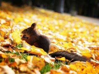обои Белка на жёлтых листьях фото