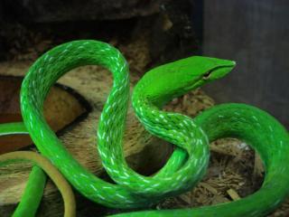 обои Зелёная змея Шри Ланки фото