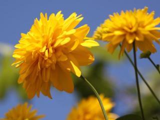 обои Золотые шары - цветы осени фото