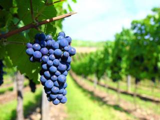 обои Крымский тёмный виноград фото