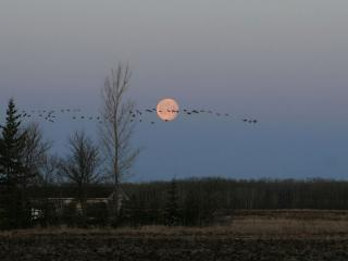 обои Клин перелетных птиц фото
