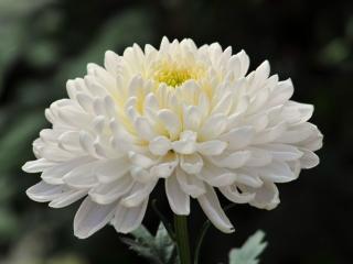 обои Белая хризантема фото