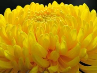 обои Крупная жёлтая хризантема фото