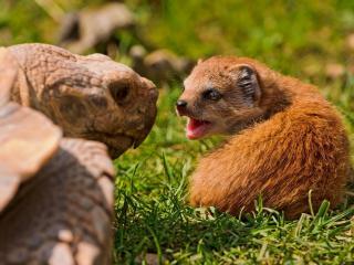 обои Черепаха и мангуст фото