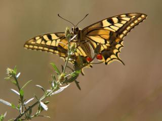 обои Бабочка махаон фото