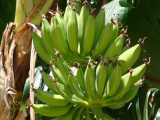 обои Банановый Рай фото