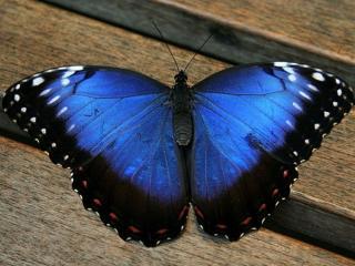 обои Бабочка прелестница фото