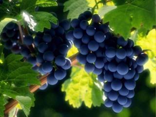 обои Грозди тёмного винограда фото