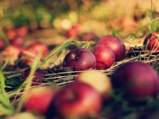 обои Красные яблоки на осенней траве фото