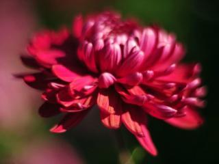 обои Тёмно-красная хризантема фото