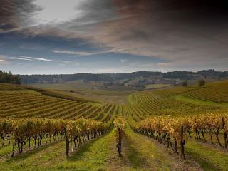 обои Виноградные плантации фото