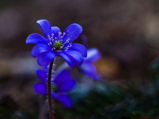 обои Маленький синий цветочек фото