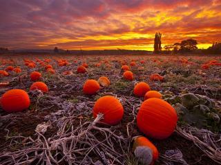 обои для рабочего стола: Осеннее тыквенное поле