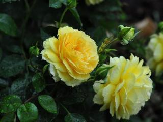 обои Жёлтые розы под дождём фото