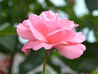 обои Нежный розовый цвет фото