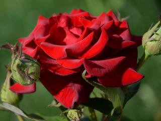 обои Отцветает роза красная фото