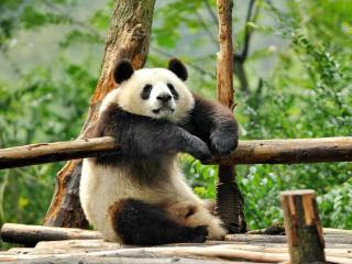 обои Панда отдыхает фото