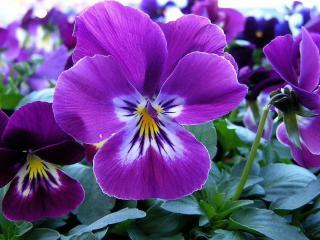 обои Анютины глазки - фиолетовый цвет фото