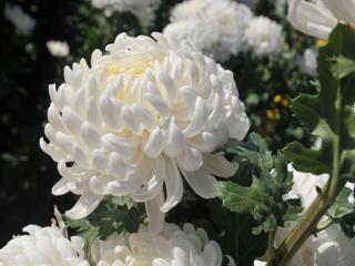 обои Белые хризантемы фото