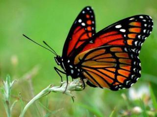обои Красная бабочка на стебельке фото
