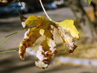 обои для рабочего стола: Осенний лист каштана