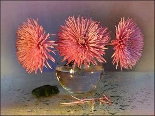обои Розовые хризантемы фото
