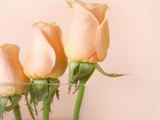 обои Три розовые розы в стакане фото