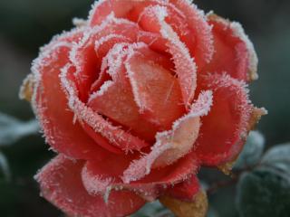обои Розовая роза покрылась инеем фото