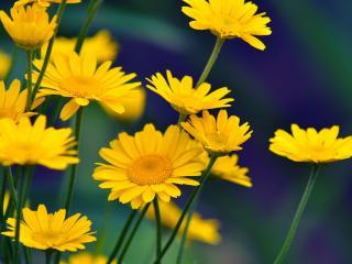обои Семья желтых ромашек фото