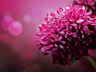 обои Пышный темно красный цветок фото