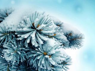 обои для рабочего стола: Хвойная ветка под нежным снегом