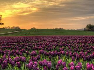 обои Поле бардовых тюльпанов фото