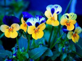 обои Анютины глазки - синее с жёлтым фото