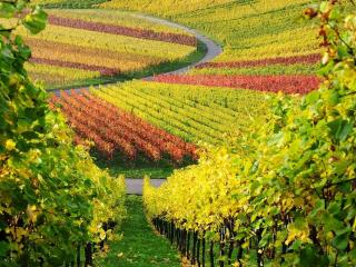 обои для рабочего стола: Виноградные поля осеннего Крыма