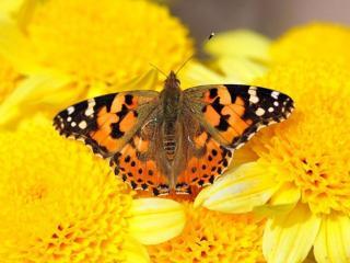 обои для рабочего стола: Бабочка на жёлтых цветах
