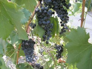 обои Тёмный,   матовый виноград фото