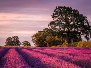 обои Лавандовое поле и деревья фото