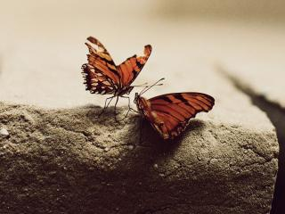 обои для рабочего стола: Разговор бабочек на камне