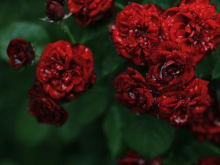 обои Бардовая роза после дождя фото