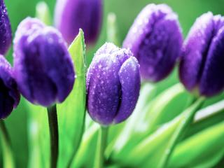 обои Синие тюльпаны в росе фото