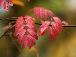 обои для рабочего стола: Осенние листья рябины в каплях дождя