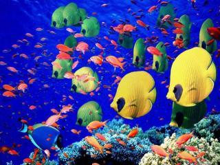 обои для рабочего стола: Разноцветные обитатели Красного моря