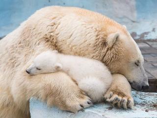 обои для рабочего стола: Семейная идилия. Белые медведи в Новосибирском зоопарке