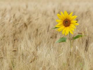 обои Украшение пшеничного поля фото